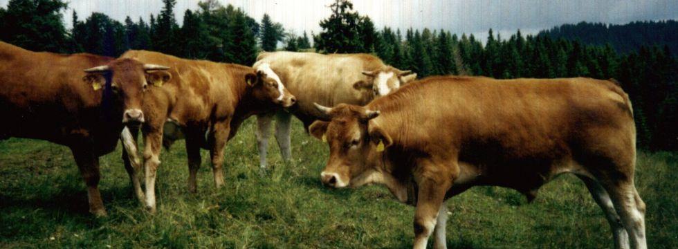 Ochsen Rinderbörse